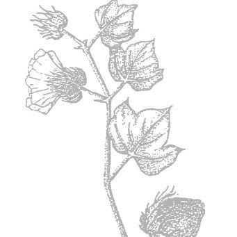 cotton illustration