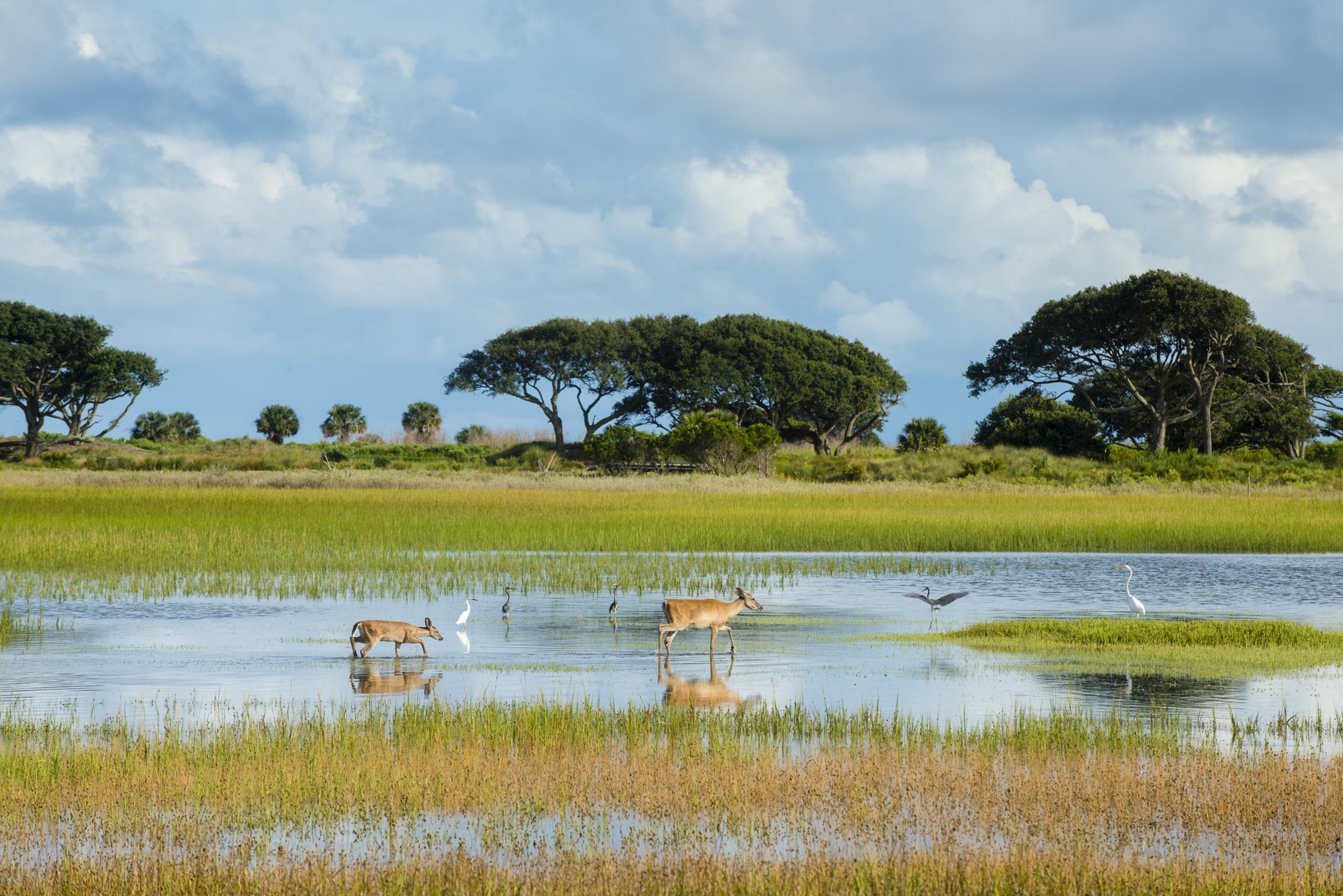 Kiawah Island's Abundant Animals