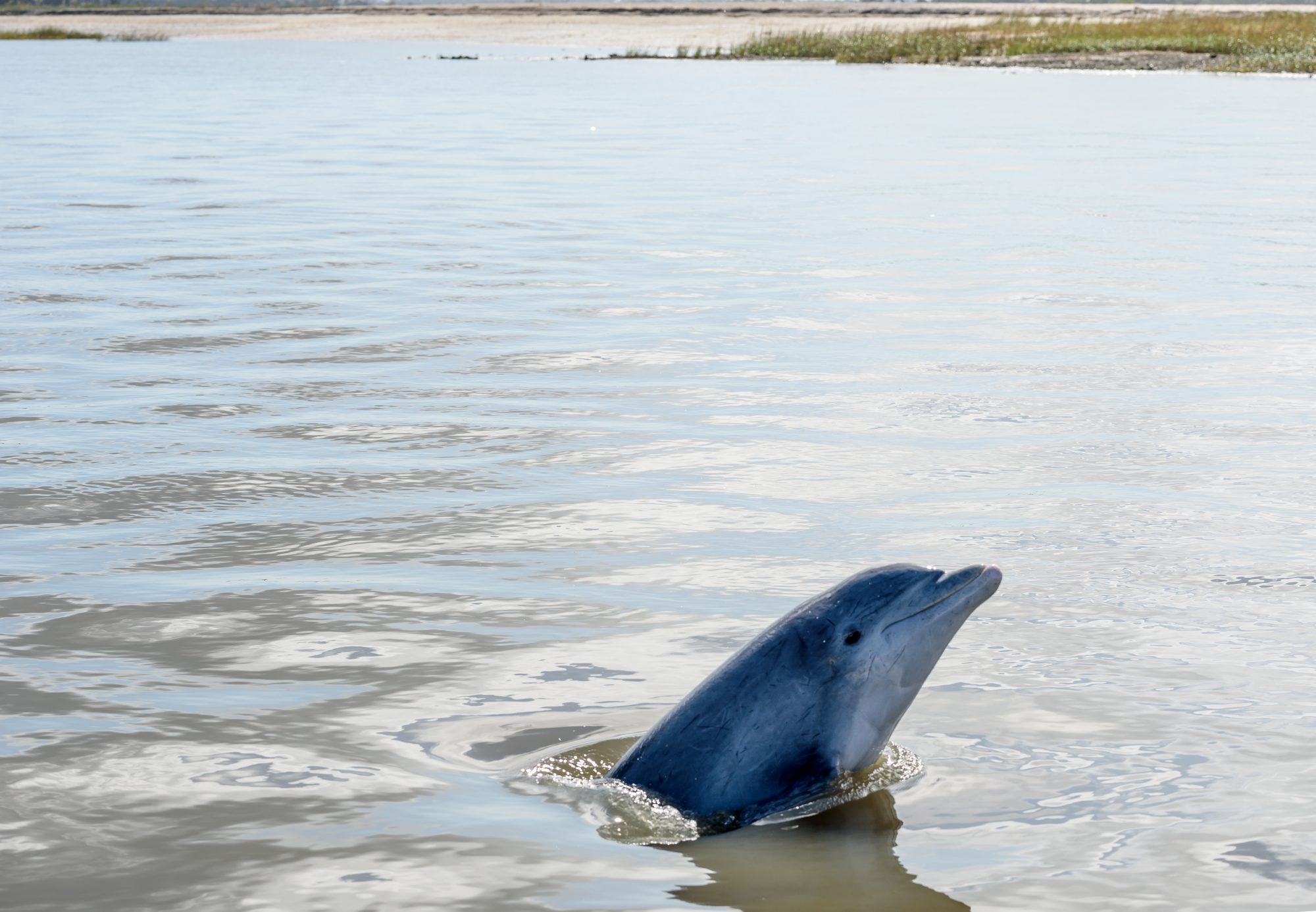 Your Guide to Seeing Kiawah Island Dolphins