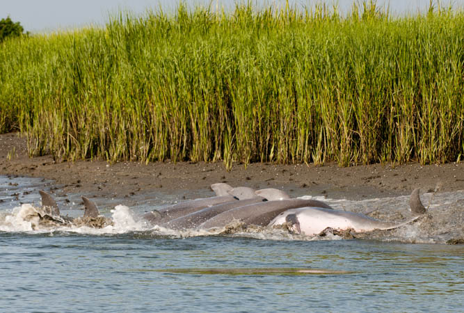 The Strand Feeding Practices of Kiawah's Bottlenose Dolphins